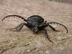 Sawyer beetle front-on - watch those jaws!
