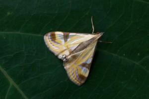 Acentropinae sp.