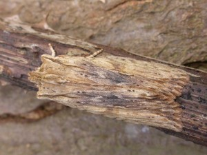 2nd Pale pinion - darker specimen