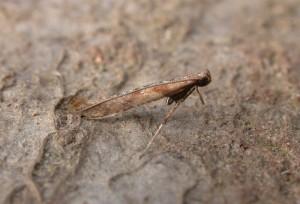 Caloptilia falconipennella