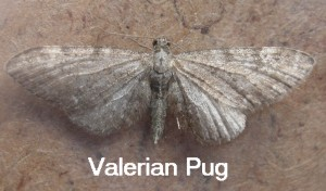 Valerian Pug