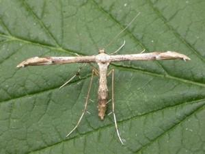 Dusky plume Oidaematophorus lithodactyla