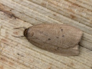 Small dotted footman