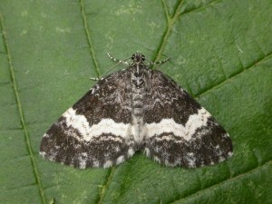 White-banded carpet