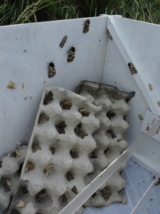 Trap full of moths at the reedbed