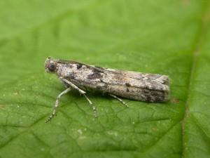 Ancylosis oblitella