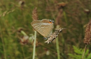 Male Long-tailed blue