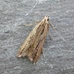 Monochroa palustrellus (Woolpit 23-09-17)