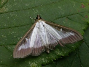 The IGC Box tree moth