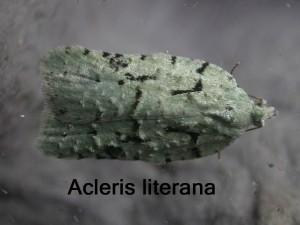 Acleris literana 6-4-2018