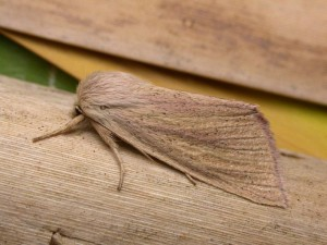 The Blair's wainscot.