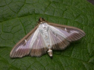 Box-tree moth normal form