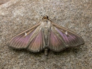 Box-tree moth dark form