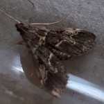 D.fovealis (Woolpit 10-Sept-18)
