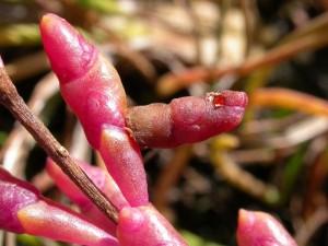 Coleophora salicornae case on Glasswort