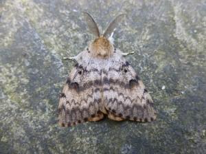 Gypsy Moth 1(1)